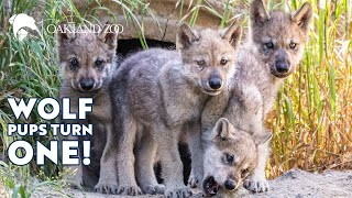 One Year of Wolf Pups