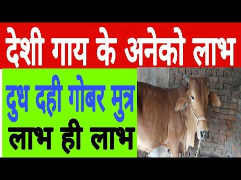 देशी गाय के अनेकों फायदे / cow milk benifit in india.