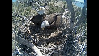 Big Bear Eagle Cam ~ Dad Tries To Entice Stormy To Nest; Squeeing & Flapping 4.27.18