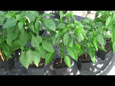 Beautiful Home Grown Pepper Plants - started from seeds