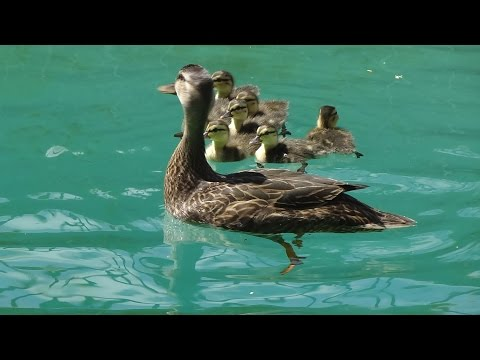 Help ducks out of your pool.