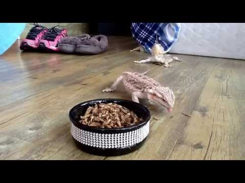 Beardies eating freeze-dried crickets