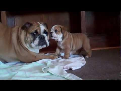 5 week old English Bulldog Puppy barking at 7 month old!