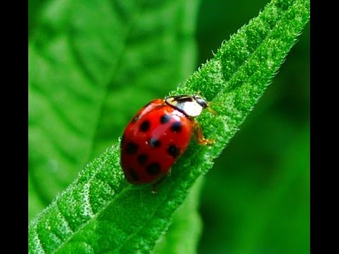 Prepper tips: how to get rid of ladybugs
