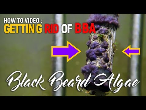 How To Get Rid Of BBA Black Beard Algae