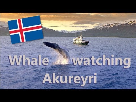 Whale Watching in Akureyri, Iceland