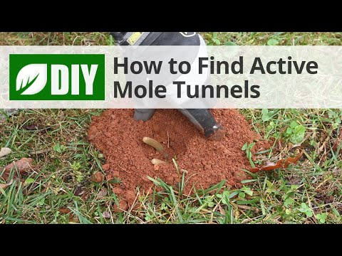 How to Find Active Mole Tunnels