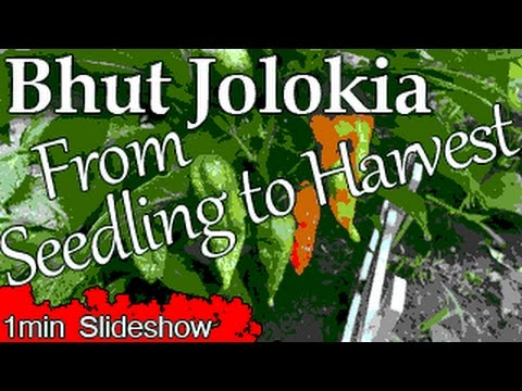 Slideshow: Bhut Jolokia Plant from Seedlings to Harvest in 1 Minute.