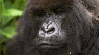 Silverback Showing off to the Female   Mountain Gorilla   BBC Earth