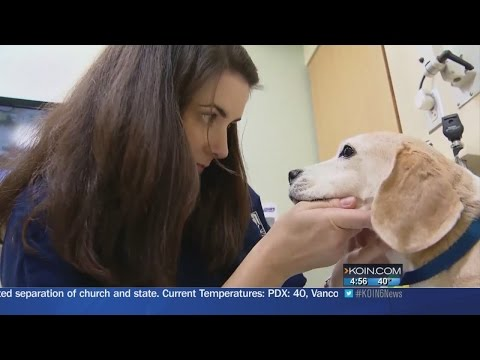 Sweetener in some sugarless gums can kill dogs