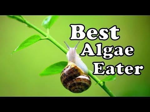 Fresh Water Snails - Natural Algae Eater (Mystery, Apple, Trumpet, Ramshorn, Pond Snail)