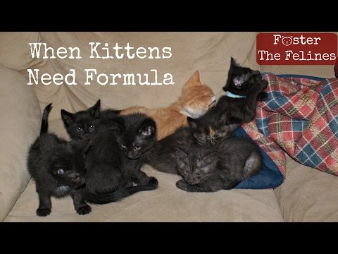 When Kittens Don't Get Enough Milk From Mom 😺 Formula & Fleas Foster Litter #15
