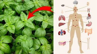 4 Surprising Health Benefits of Basil   Natural Cures