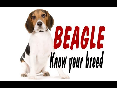 BEAGLE - KNOW YOUR BREED