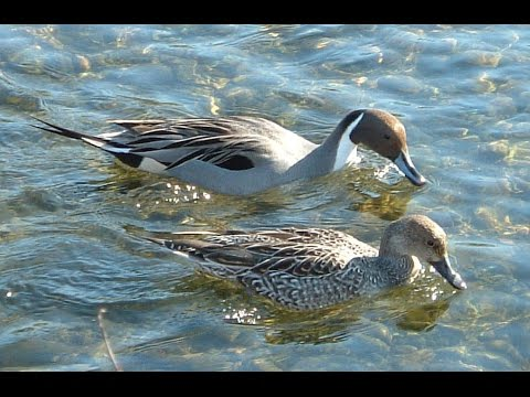 How Pintail duck feeding in the water.MP4