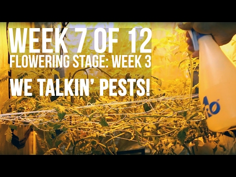 Complete Hydro Grow Tent Kit System - Week 7 Grow Journal | Dealing with Spider Mites and More...