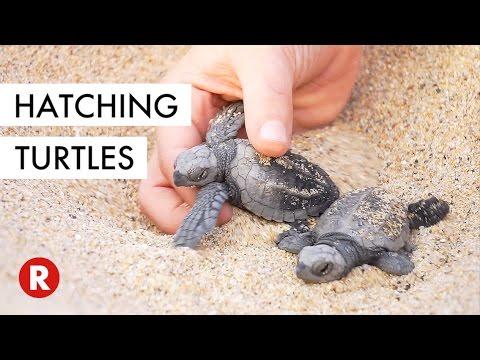 Baby Turtles Released Into The Wild! // Los Cabos, Mexico