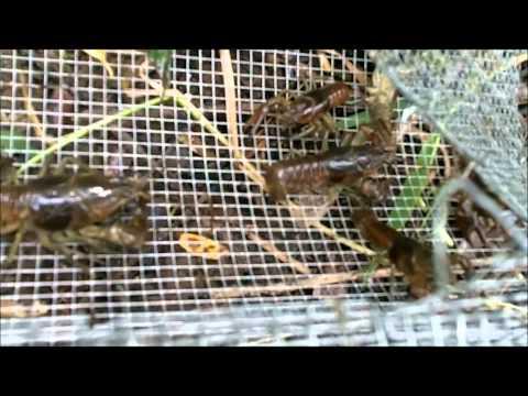 MUDBUGGIN,  Trapping Crayfish, Crawfish, Mudbugs, Crawdads