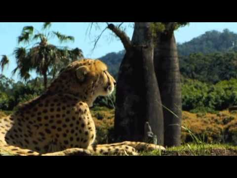 Australia Zoo cheetah give Africa the paws up