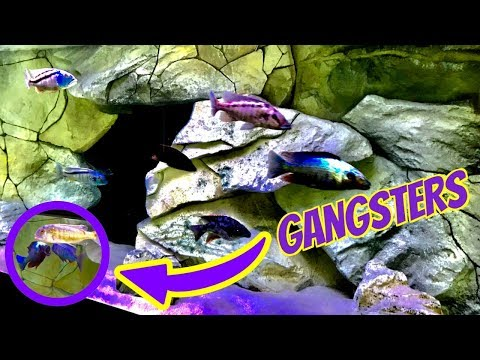 STRAIGHT UP GANGSTER AQUARIUM FISH , THEY ARE PISSED OFF