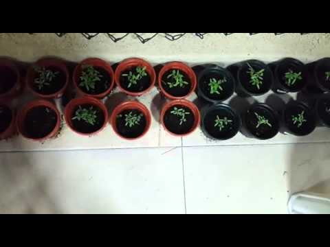 Scientific project video 3 impact on growth of plant with different water