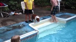 Swimming Bulldog