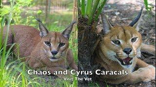 Reintroducing Our Caracals Part 1: Vet Visit