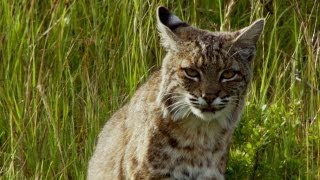 Bobcat Stalks a Pocket Gopher | North America
