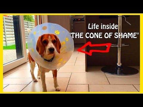 Funny Puppy Vs Cone of Shame : Cute Puppy Marie The Beagle