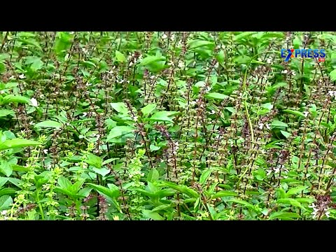 Sabja or Basil Successful farming by Guntur Farmers - Express TV