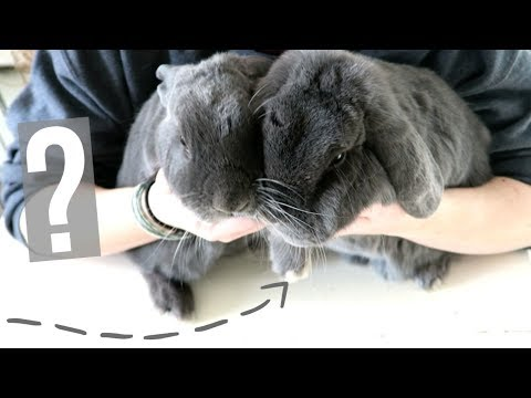 Which Rabbit Is Which? Why Are They Both Grey?