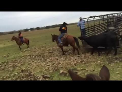 Catching wild cow