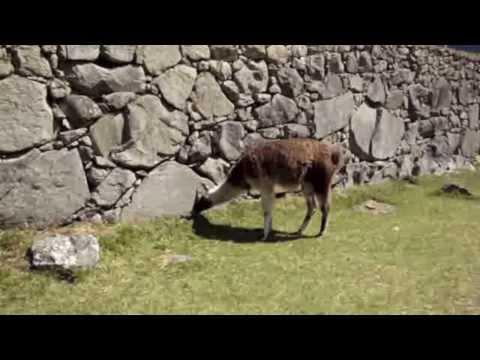 Friendly Llamas - Machu Picchu, Peru