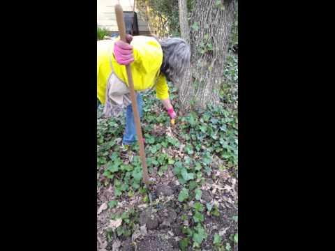 Gardening tip: getting rid of ivy