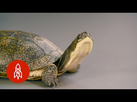 The Blanding's Turtle Keeps a Low Profile to Survive