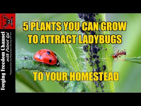 HOW TO ATTRACT LADYBUGS - Attract Ladybugs by Planting These 5 Plants - Forging Freedom Podcast