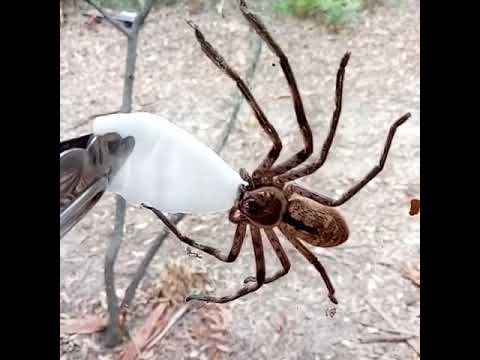 Thirsty Spider Drinks From a Cotton Swab