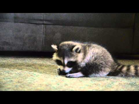 Taz Murray the baby raccoon Eating a Butterscotch Candy