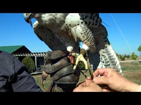 Falcon Training Part V. Enjoying the Reward