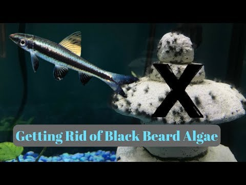 How to get rid of Black Beard Algae