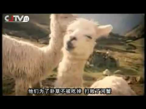 Song of the Grass-Mud Horse (Cao Ni Ma)