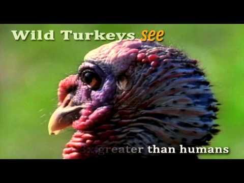 Turkey Trivia Thanksgiving 2012
