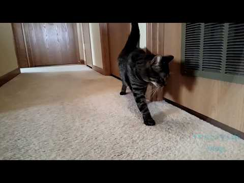 Kitten and Cat Want to Play  After Vet Visit   Pet Vlog