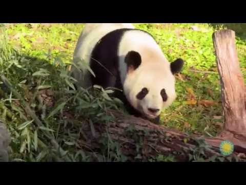 Explore Smithsonian: What External Adaptations do Pandas Have for Their Unique Diet