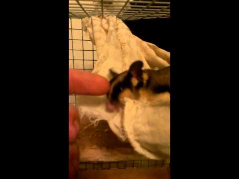 Hand feeding sugar gliders