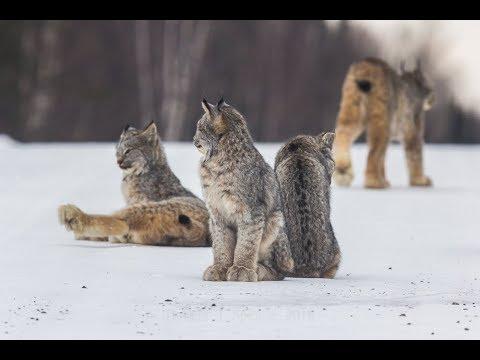 Canada Lynx Family on the Hunt...