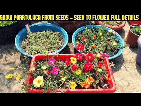 How To Grow Portulaca Or Moss Rose From Seeds-Full Information From Seed To Flower