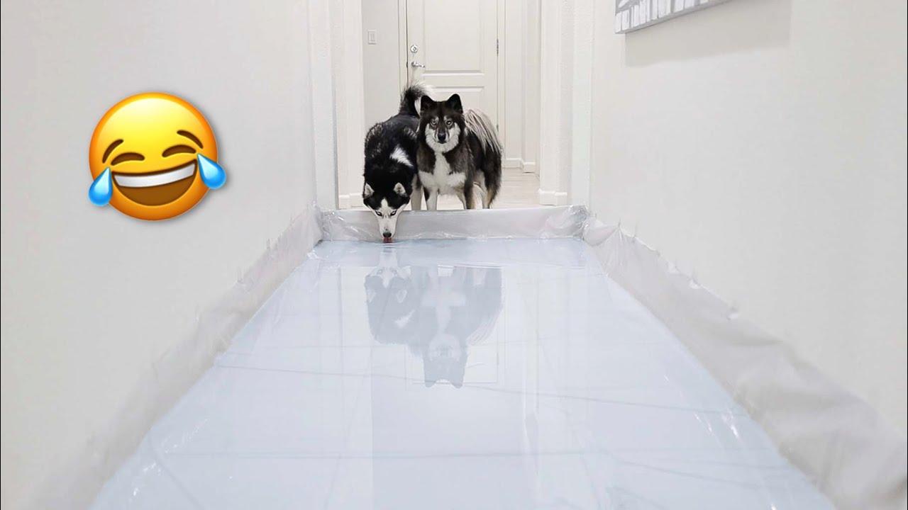 Hallway Full Of Water Prank On My Huskies!
