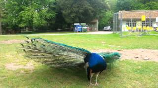 Peacock sound Videos - 9tube tv