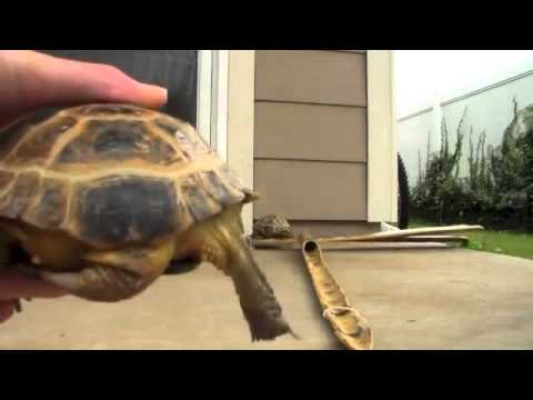 How to tell if a tortoise is male or female